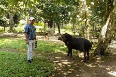 Ein Tapir im Regenwald